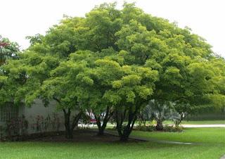cddca-pongamiatree