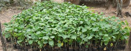 jatropha-planta.jpg