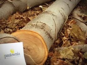 Paulownia-log