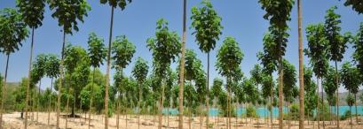 plantacion de pawlonia esp